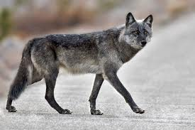 GrayWolfConservationcom  Wolf Behavior
